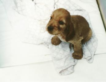 Little Spaniel